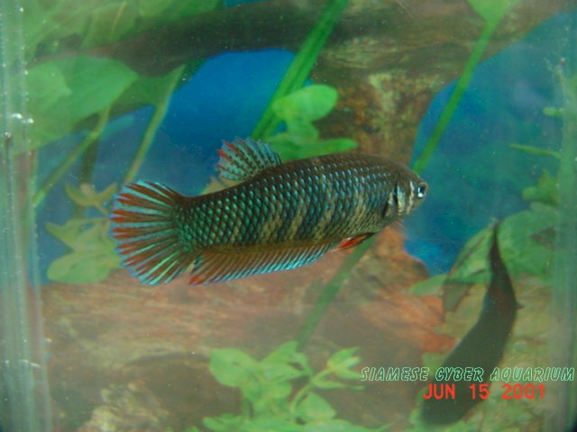 Siamese cyberaquarium battas gallery for Wild betta fish